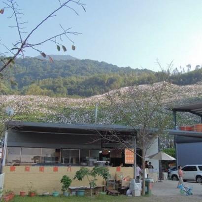 新竹尖石 八五山甜柿森林 (八五山老劉的果園)