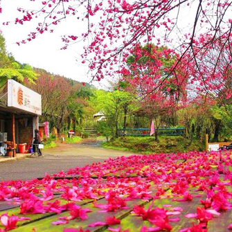 新竹五峰 櫻之林休閒農場